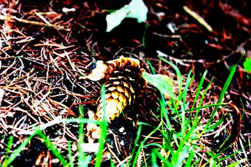 pinecone colorful color splash like
