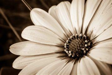 nature flower photography blackandwhite sepia